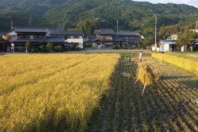 2011稲刈り1.jpg