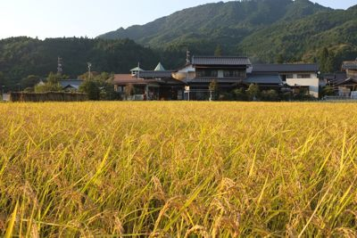 2011稲刈り2.jpg