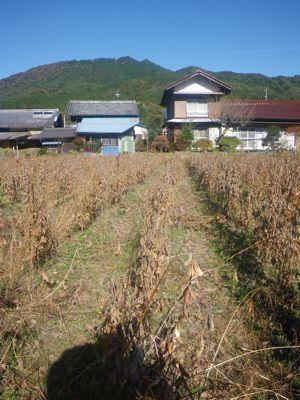 収穫前大豆.jpg