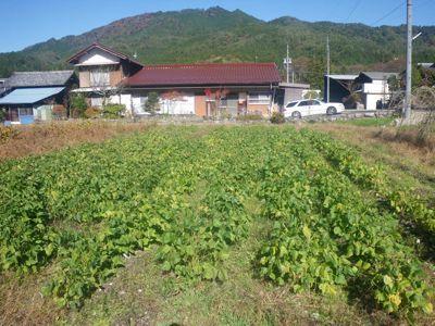 収穫前小豆.jpg