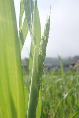小麦、出穂.jpg