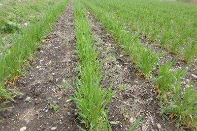 小麦の様子0409-1.jpg