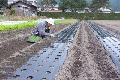 玉ねぎの定植2011−2.jpg