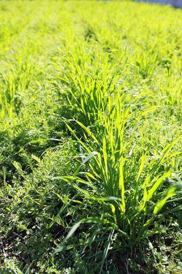 秋の緑肥1.jpg