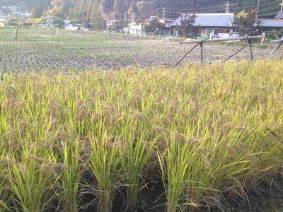赤米収穫.jpg